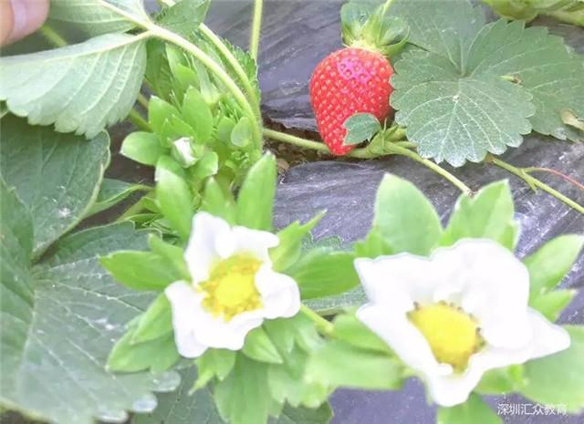 送你小草莓.jpg