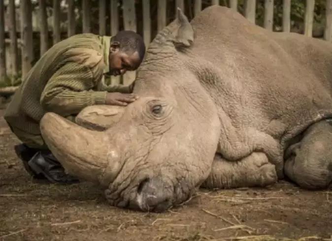 """2018年3月19日,世界上最后一头雄性北方白犀牛""""苏丹""""在肯尼亚去世.jpg"""