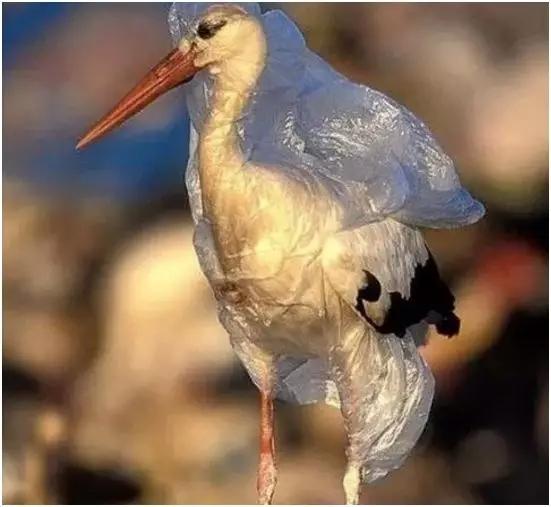 被人类垃圾束缚住的鸟.jpg