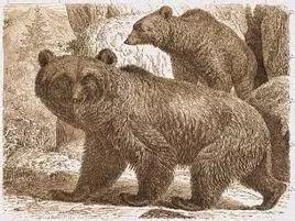 最后一只阿特拉斯棕熊,在1870年被射杀.jpg